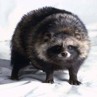 Round Racoon