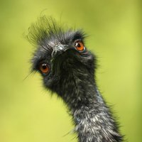 Emus schmecken besonders gut mit Sahnesoße und Klößen