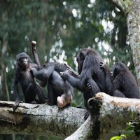NA Bonobo Squad